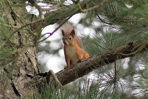 Red Squirrel at Raven Point Wood