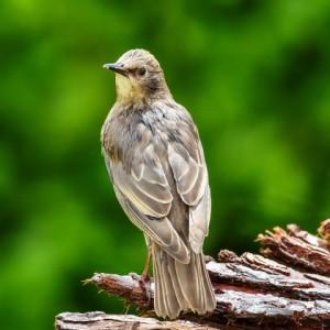 Starling ( juvenile)